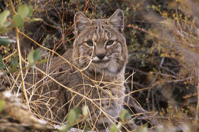 Bobcat - Mount Shasta Print by Soli Deo Gloria Wilderness And Wildlife Photography