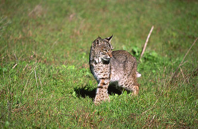 Bobcat On Wildcat Beach Print by Soli Deo Gloria Wilderness And Wildlife Photography
