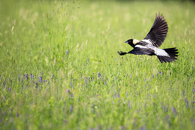 Bobolink In Flight Print by Bill Wakeley