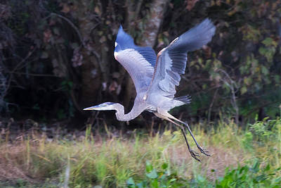 Interior Design Photograph - Bold Background - Great Blue Heron by J Darrell Hutto