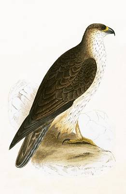 Hawk Drawing - Bonelli's Eagle by English School