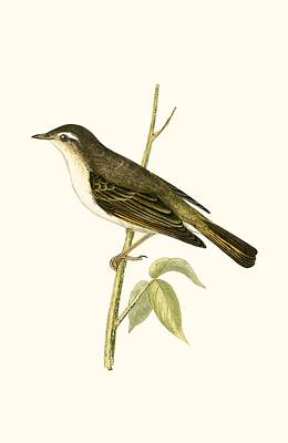 Warbler Drawing - Bonelli's Warbler by English School