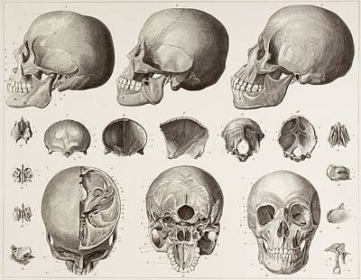 Human Head Drawing - Bones Of The Head. After A 19th Century by Vintage Design Pics