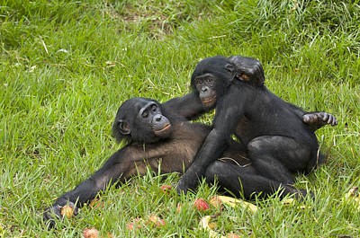 Chimpanzee Photograph - Bonobo Apes Mating by Tony Camacho