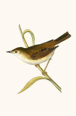 Reeds Drawing - Booted Reed Warbler by English School