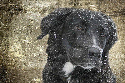 Border Collie Print by Stephen Smith