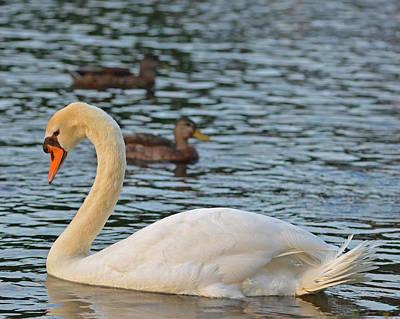 Boston Public Garden Swan Amongst The Ducks Print by Toby McGuire
