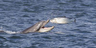 Bottlenose Dolphin Eating Salmon - Scotland  #36 Print by Karen Van Der Zijden
