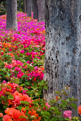 Bougainvillea Forever Print by Eggers Photography