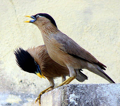 Brahminy Myna - Different Poses Original by Shariq Khan