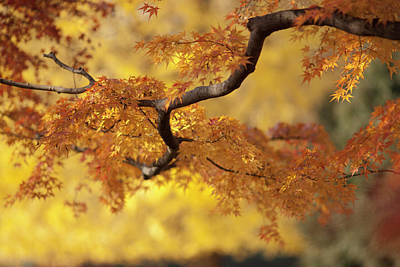 In Focus Photograph - Branch Of Japanese Maple In Autumn by Benjamin Torode