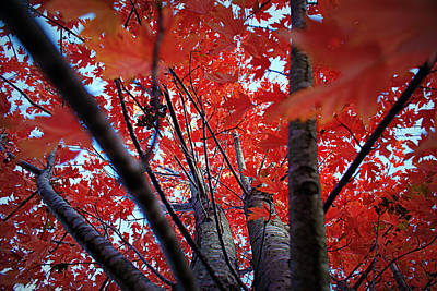 Of Autumn Photograph - Branches Of Autumn's Blaze by Cricket Hackmann