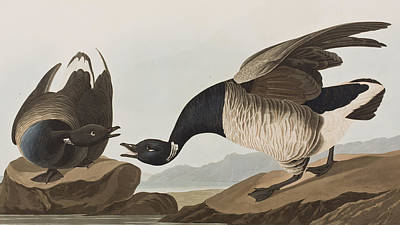 Geese Drawing - Brant Goose by John James Audubon