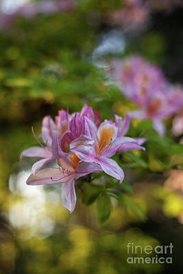 Rose Photograph - Bright Azaleas Vibrant Colors by Mike Reid