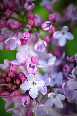 Bursting Photograph - Bright Lilacs by The Forests Edge Photography - Diane Sandoval