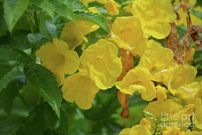 Bright Yellow Blossoms  Print by Ruth Housley