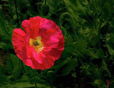 Brilliant Icelandic Poppy Print by Jean Noren