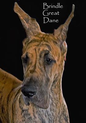 Brindle Photograph - Brindle Great Dane by Larry Linton