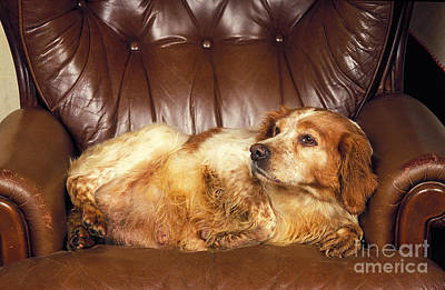 Fat Dog Photograph - Brittany Spaniel by Gerard Lacz