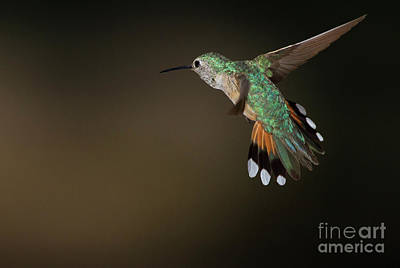 Broad Tailed Coming In For A Landing  Print by Ruth Jolly