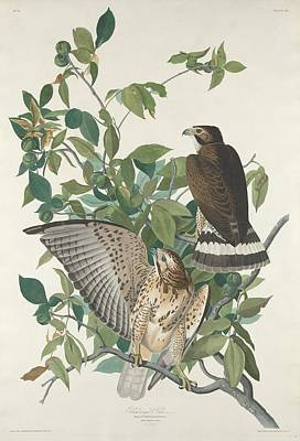 Hawk Drawing - Broad-winged Hawk by John James Audubon