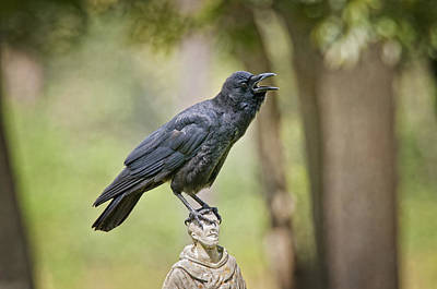 American Crow Photograph - Brother Crow On St. Francis' Head by Bonnie Barry