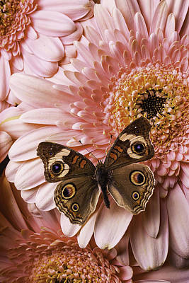 Gerbera Daisy Photograph - Brown Butterfly On Pink Daisy by Garry Gay