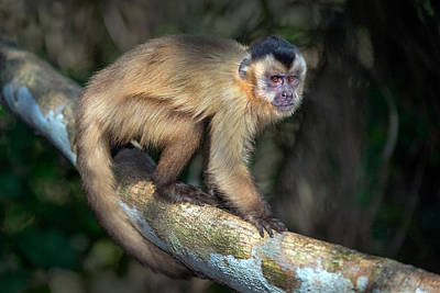 Wetlands Photograph - Brown Capuchin Monkey Cebus Apella by Panoramic Images