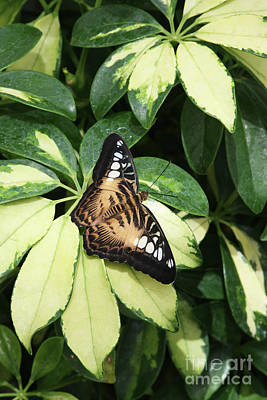 Entomology Photograph - Brown Clipper Butterfly #6 by Judy Whitton
