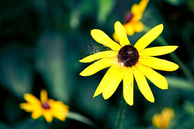 Muscatine Photograph - Brown Eyed Susan by Jame Hayes