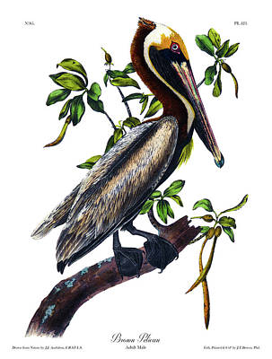 Pelican Drawing - Brown Pelican Audubon Birds Of America 1st Edition 1840 Royal Octavo Plate 423 by John Audubon