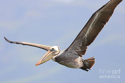 Bif Photograph - Brown Pelican Flying by Wingsdomain Art and Photography