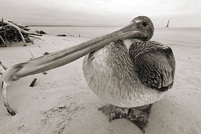 Black And White Photograph - Brown Pelican Folly Beach Morris Island Lighthouse Close Up by Dustin K Ryan