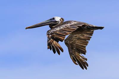 Brown Pelican On The Wing Print by Steve Samples