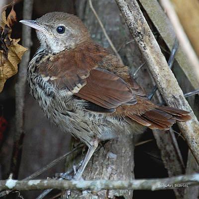 Mockingbird Digital Art - Brown Thrasher Fledgling by DigiArt Diaries by Vicky B Fuller