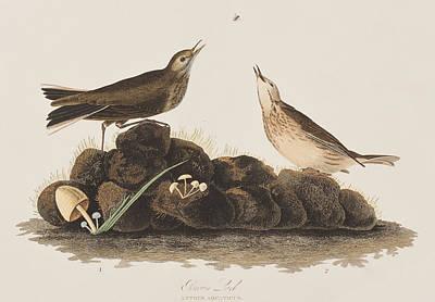 Mushroom Drawing - Brown Titlark by John James Audubon