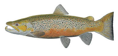 Brown Trout Original by Paul Vecsei
