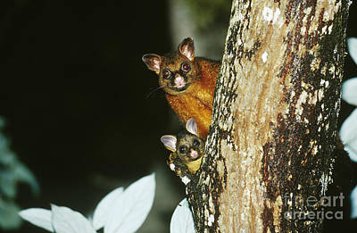Possum Photograph - Brush-tailed Possum With Young by B. G. Thomson