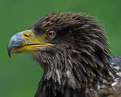 Photograph - Budding Lady Aquila by Tony Beck