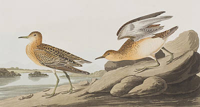 Sandpiper Drawing - Buff Breasted Sandpiper by John James Audubon