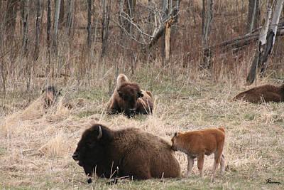 Buffalo And Calf Print by Andrea Lawrence