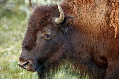 Buffalo Head Print by Todd Klassy