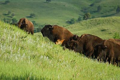 Bison Mixed Media - Buffalo On Hillside by Ernie Echols