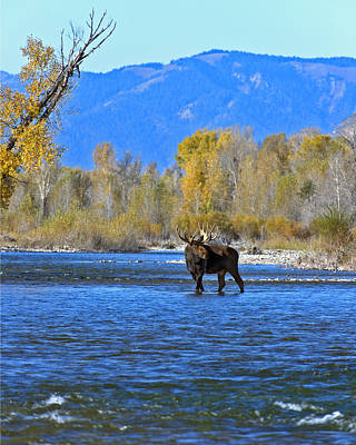 Bull Moose Crossing River Print by Gary Langley