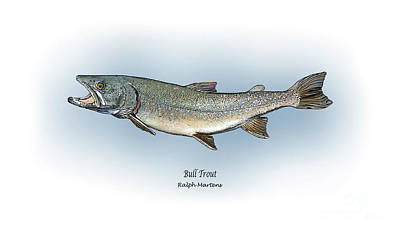 Trout Drawing - Bull Trout by Ralph Martens