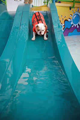 Looking Away From Camera Photograph - Bulldog Going Down Waterslide by Gillham Studios