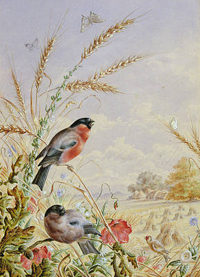 Bullfinches In A Harvest Field Print by Harry Bright