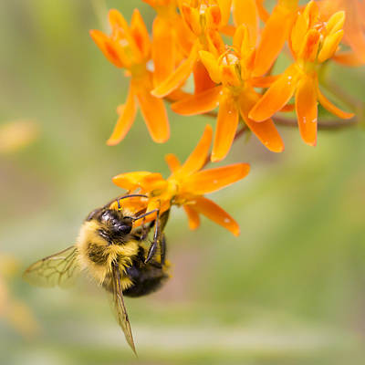 Bumble Bee On Butterfly Weed Print by Jim Hughes