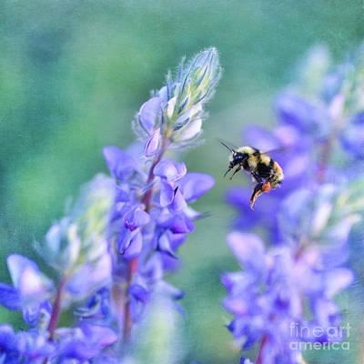 Bumblebee Photograph - Bumblebee And Lupine by Priska Wettstein