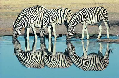 Burchells Zebra (equus Burchelli) Drinking At Waterhole, Etosha, Namibia Print by Digital Vision.